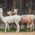 Spotkania online z Alpakami z Ośrodka Koparka